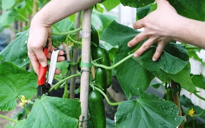 Схема прищипки огурцов будет зависеть от сорта выращиваемого гибрида