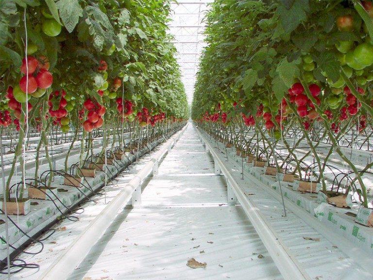 Основное отличие заключается в том, что на промышленное выращивание томатов в теплице необходимо потратить внушительную сумму