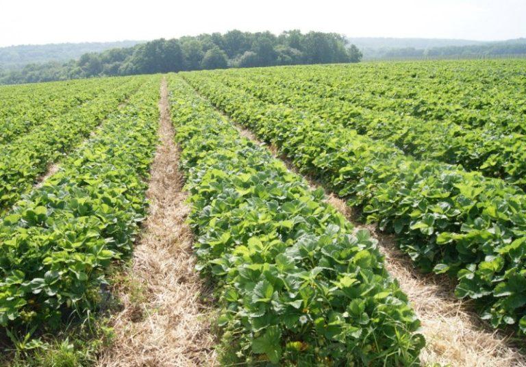 Промышленное выращивание клубники — очень выгодный бизнес
