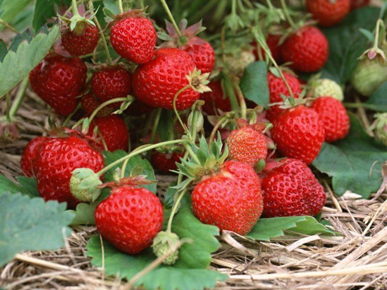 Созревшие ягоды собирают в небольшие емкости, что обеспечивает их товарный вид и быструю реализацию