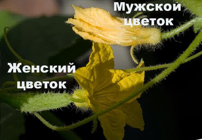 Как недостаток, так и избыток влаги в почве плохо сказывается на развитии растений, в частности на формировании сочных плодов после цветения