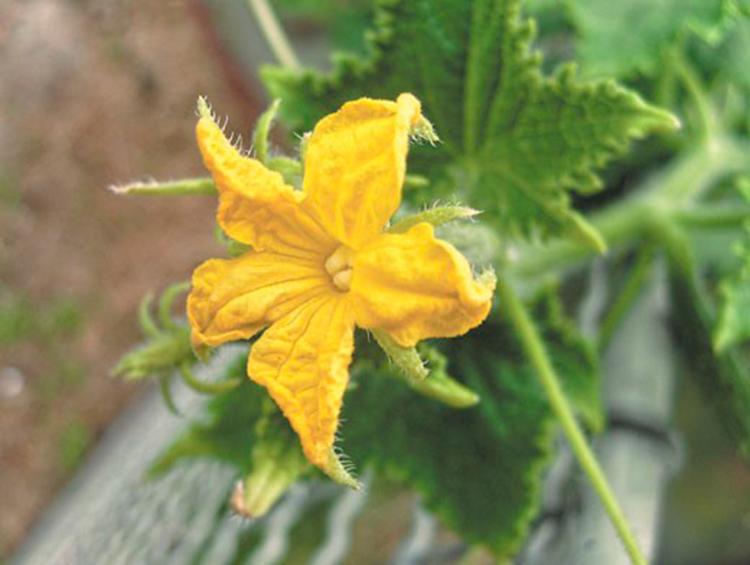 Причиной пустоцвета на огурцах является неправильный полив