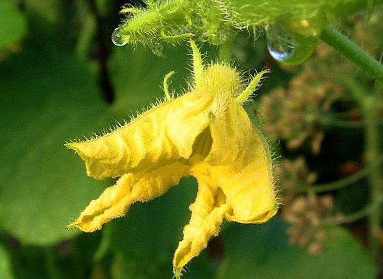 Мало кто из дачников знает, что огромное влияние на формирование огуречных плодов оказывает еще и температура воды для полива