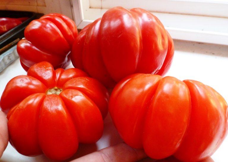 Томатные плоды Пузата хата очень крупные и вкусные