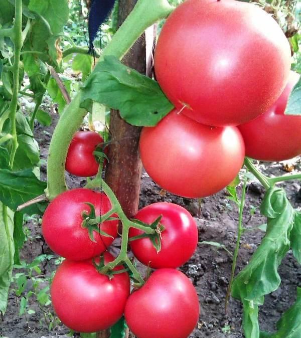 Никого нельзя удивить необычным цветом овощей. Розовые помидоры продаются в магазинах, появляются любители, которые покупают только их