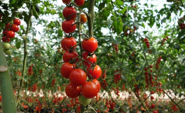 Неприхотливые сорта ранних сортов помидоров
