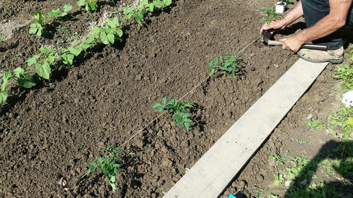 Глубина посадки зависит от качества почвы. Чем лучше она удерживает влагу, тем ближе к поверхности делают ямки