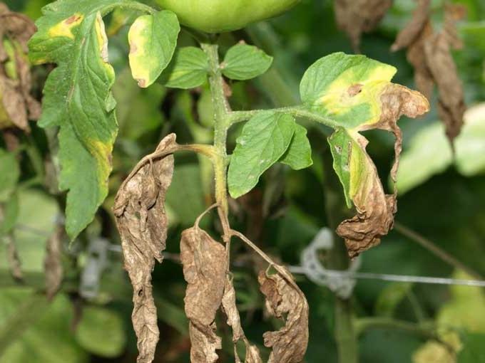 У рассады томатов могут быть такие распространенные болезни, как фузариоз и фитофтороз