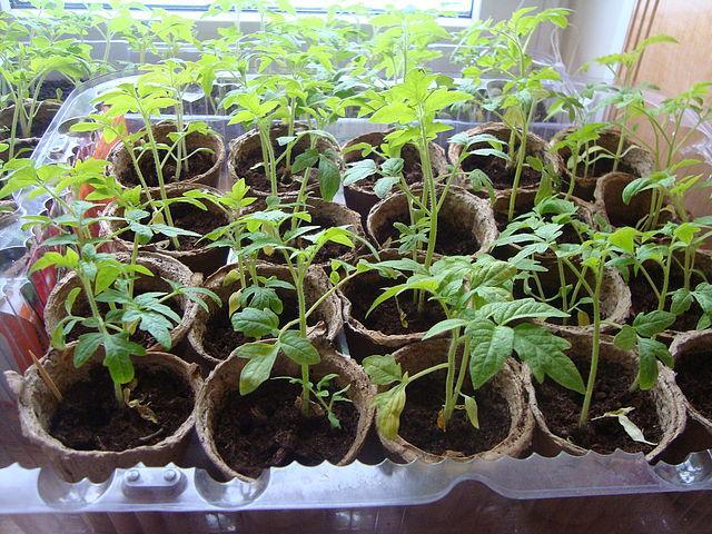 Также рассада томатов нуждается в предварительном закаливании, уже за 20-25 дней до высадки в открытый грунт необходимо это делать