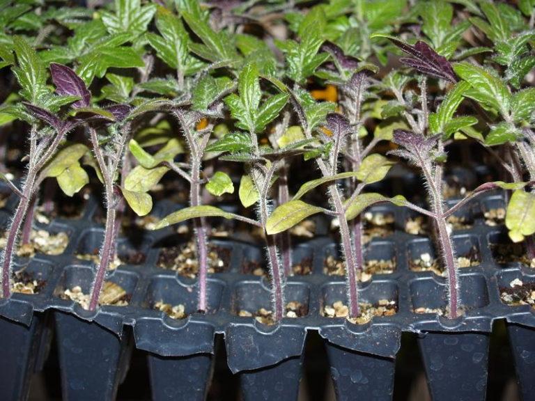 Листья рассады томатов могут также пожелтеть из-за нехватки кислорода в почве