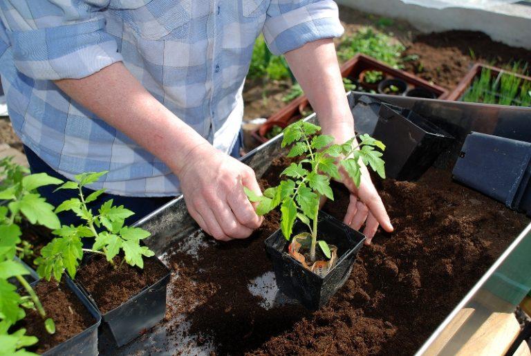 У рассады, готовой перебраться на постоянное место, должен быть толстый стебелек, хорошо развившиеся корни, первые бутоны