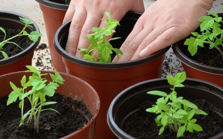 Почвенная смесь для пасленовой культуры необходима сбалансированная по питательным веществам и уровню кислотности