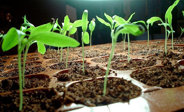 Самый оптимальный состав субстрата состоит из 1 части садовой земли, 2 - торфа, 1 - хорошо перепревшего перегноя и небольшого количества речного песка