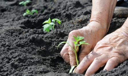 Томаты - растения теплолюбивые и требовательные