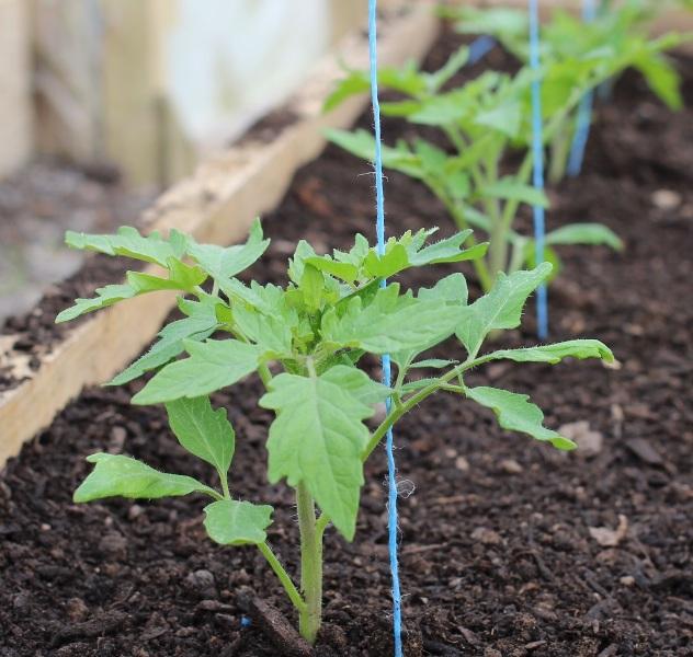 Отбираются здоровые и сильные растения с хорошими корнями