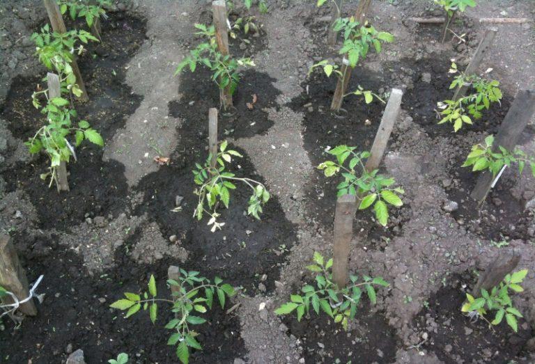 Приживаться помидоры будут около двух недель