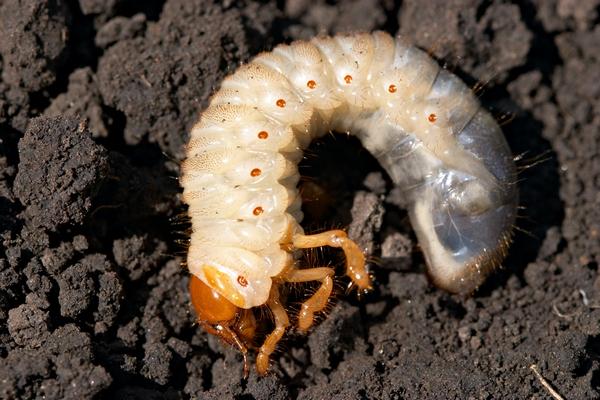 Самые распространенные вредители томатов - это личинки майского жука