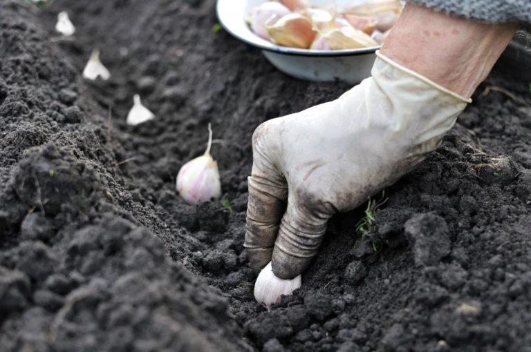 В сентябре в открытом грунте производит подзимнюю посадку чеснока