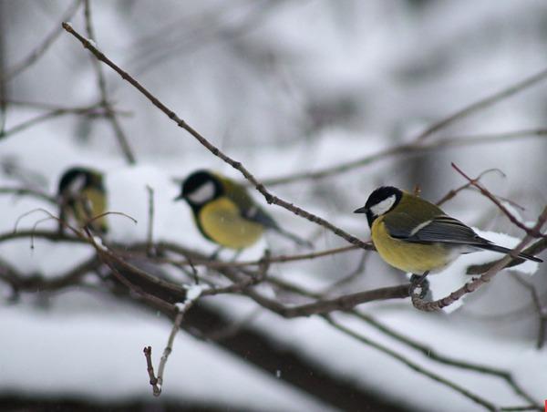 В начале января синицы расчирикались – холода жди