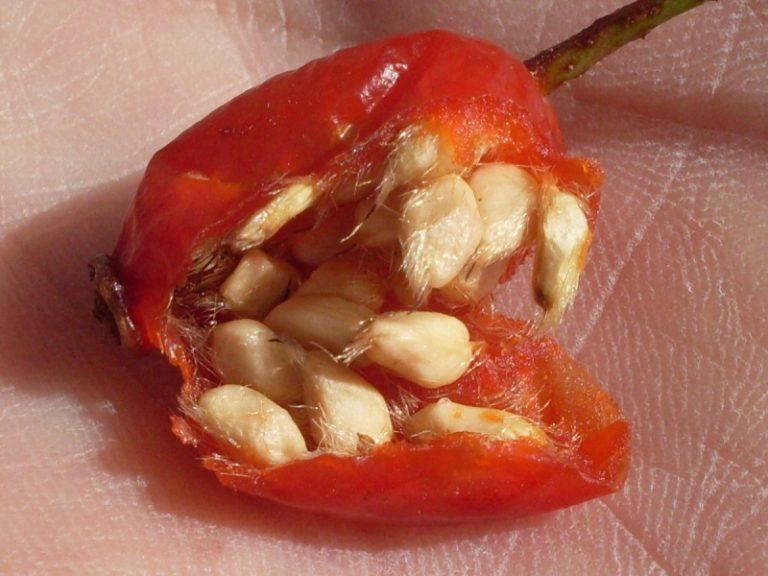 Идеально подходят для проращивания семена, полученные из перезревших плодов