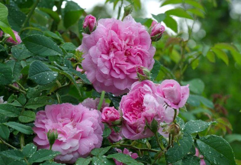 Несмотря на то, что многие люди, занимающиеся выращиванием роз, крайне скептически относятся к возможности размножения роз семенами, все же при правильном подходе вполне можно получить хороший посадочный материал