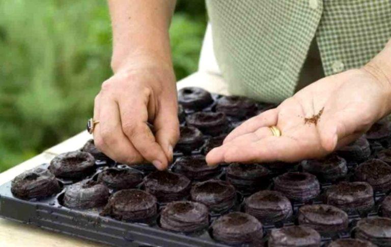 Лучше всего выращивать рассаду на специальных торфяных таблетках