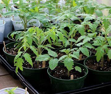Успех обусловлен соблюдением всех этапов выращивания томатов из семян
