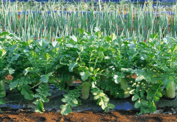 При уборке урожая срезают только листья, не трогая корневую систему. Это позволяет снимать несколько урожаев с одного корня