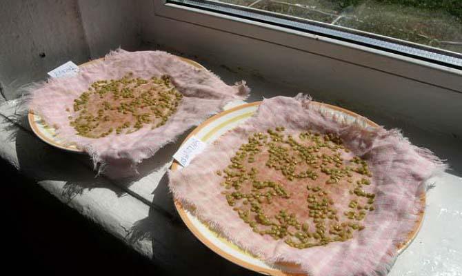 Чтобы получить крепкие и максимально продуктивные растения, необходимо провести предпосевную подготовку семян