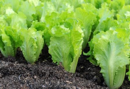 Как вырастить салат в домашних условиях