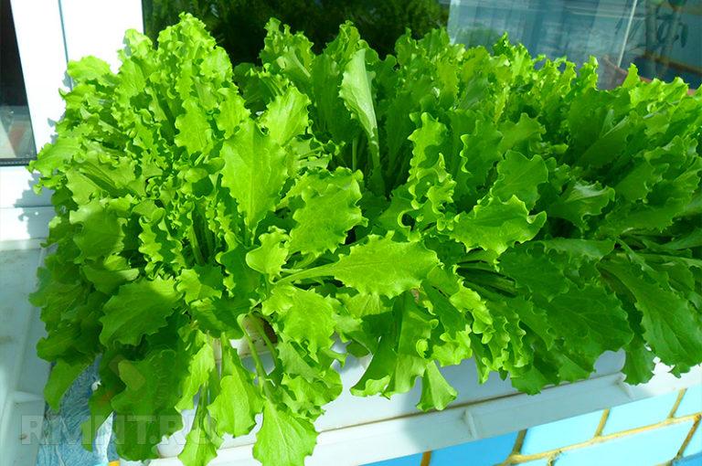 Салат неприхотлив и приносит и кратковременный, но довольно большой урожай