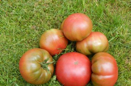 Для тех, кто возделывает овощи в теплицах, может стать интересным томат Сахарный бизон