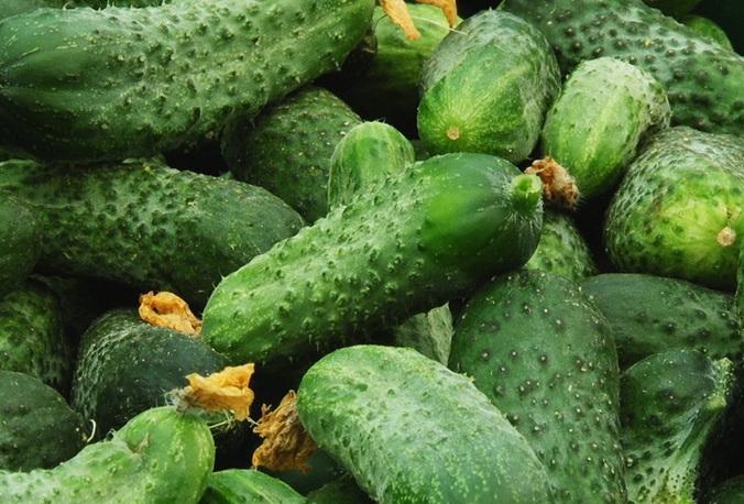 Сбор урожая огурцов следует проводить тогда, когда плоды достигнут необходимого (в зависимости от их сорта и применения) размера