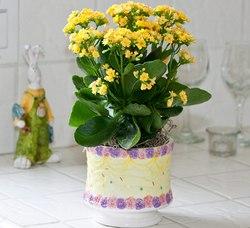 Каланхоэ каландива – распространенное комнатное растение