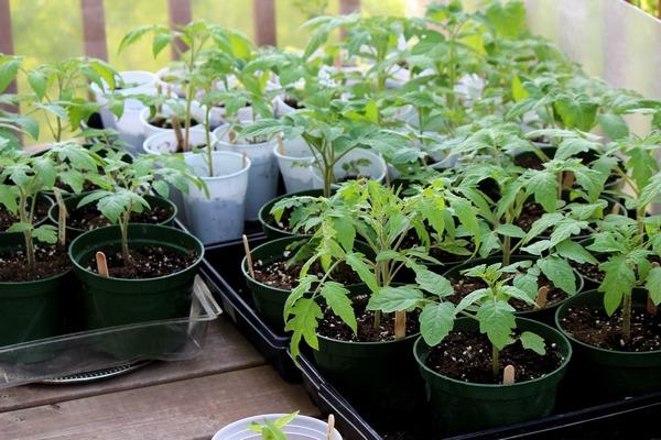 В большинстве регионов нашей страны томаты выращиваются рассадным способом