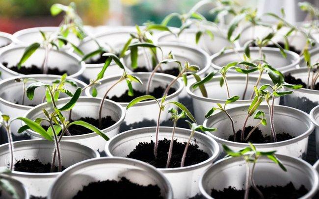 Рассаде томатов нужно обеспечить двенадцатичасовое освещение специальными фитолампами