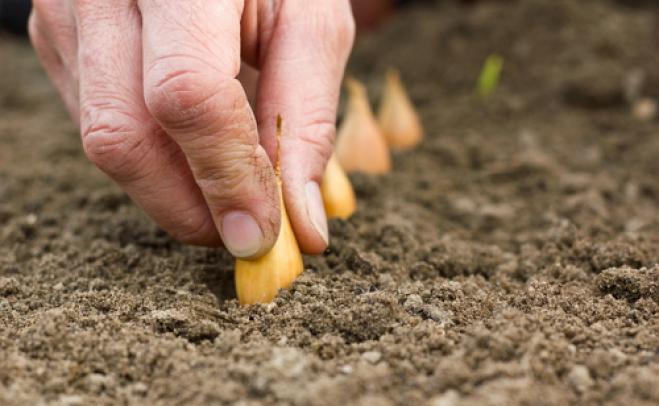 Чтобы получить высокий осенний урожай на территории Подмосковья, севок высевается в открытый грунт с 20 апреля по 5 мая, под плёночное укрытие