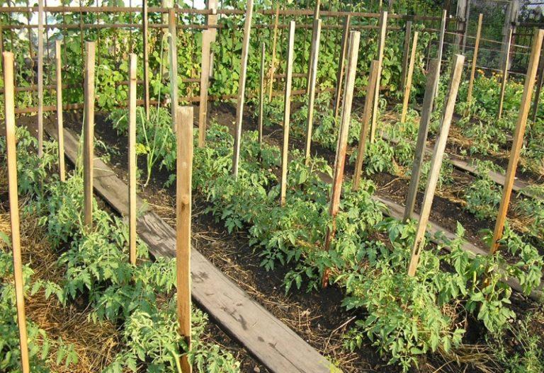 Помидоры - овощи тропические и потому капризные. В России их приспособились выращивать в самых сложных условиях