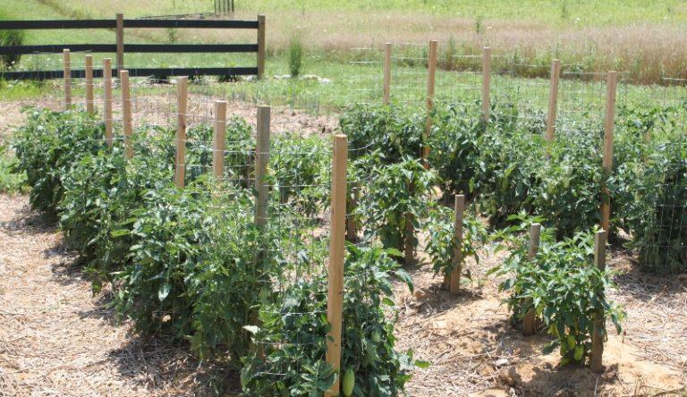 С момента появления бутонов начинается период удаления пасынков. Это убережет помидоры от формирования чрезмерно плотных зарослей