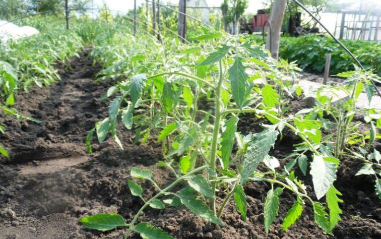 Как только кусты помидор пойдут в рост, их нужно начинать подвязывать