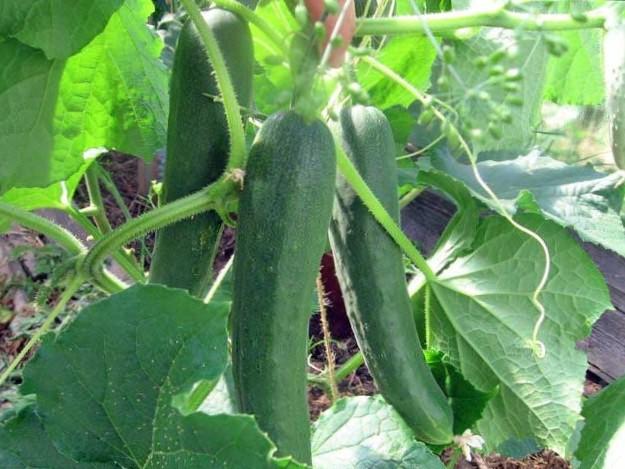 Зозуля больше подходит для салатов. Плоды долго хранятся после сбора урожая