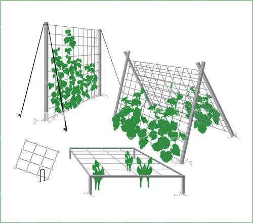 Способность огурцов самостоятельно виться в любом направлении давно подмечена огородниками