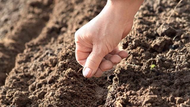 Высев семян производится в специально подготовленные лунки, которые перед этим нужно хорошо увлажнить