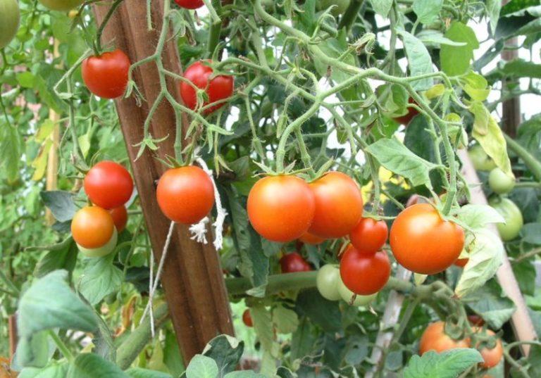 Главными же положительными качествами помидоров сорта Сибирский скороспелый можно назвать стойкость к холодам