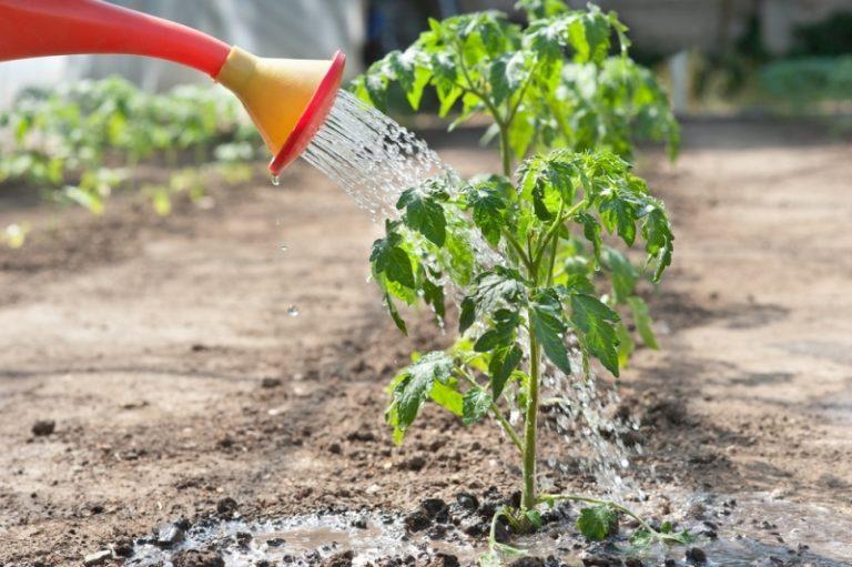 Если выращивается помидор, скручиваются листья и из-за неправильного полива