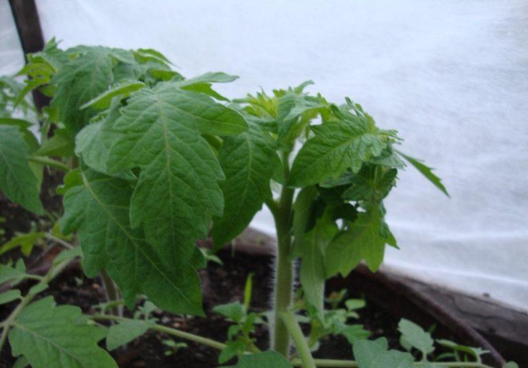 Скрутиться листья у помидоров могут из-за насекомых, которые поражают растения