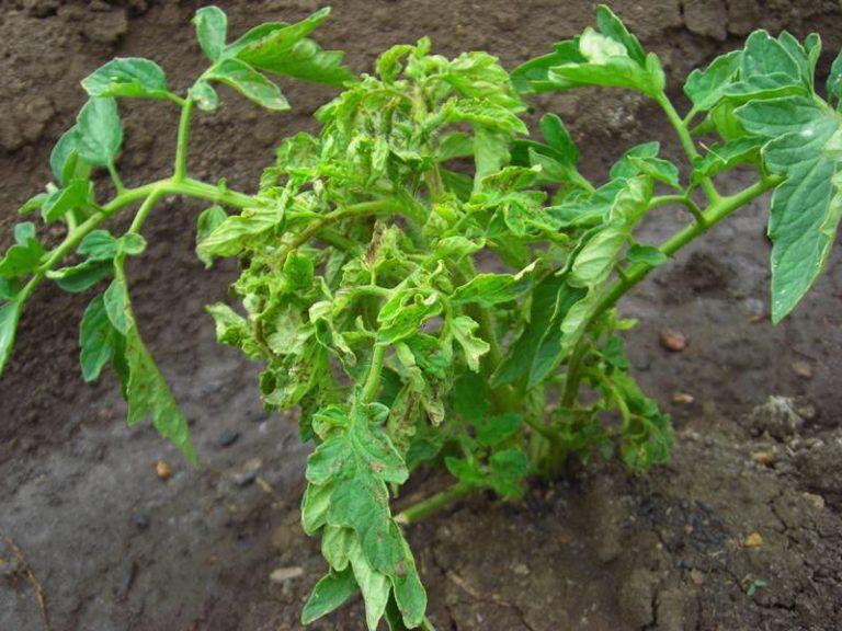 Скрученные листья могут являться результатом какого-либо заболевания помидоров