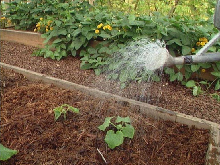 Полив водой неправильной температуры может повлиять на нормальное развитие растений