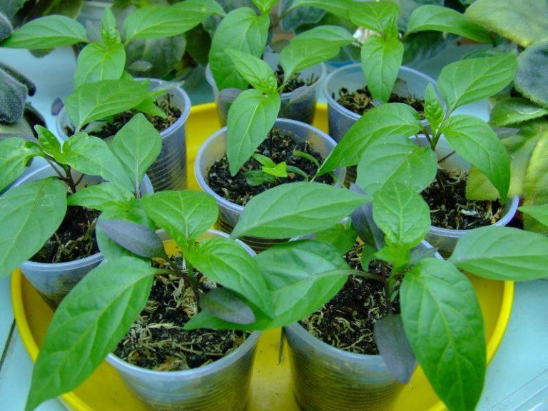 Посев перца производится в подготовленные отдельные емкости