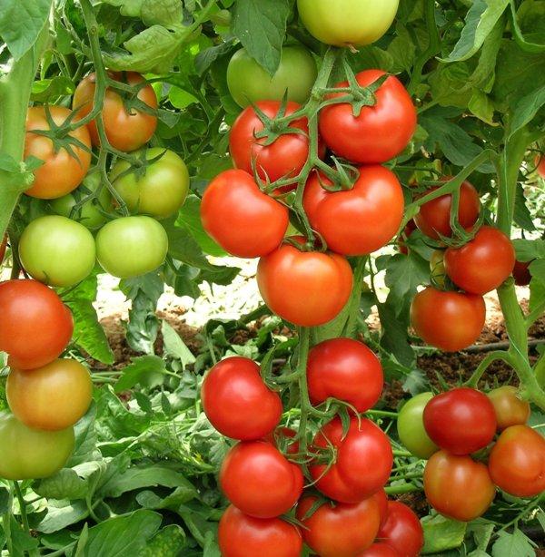 Большая часть представленных на рынке семян выпускается под популярной маркой Седек